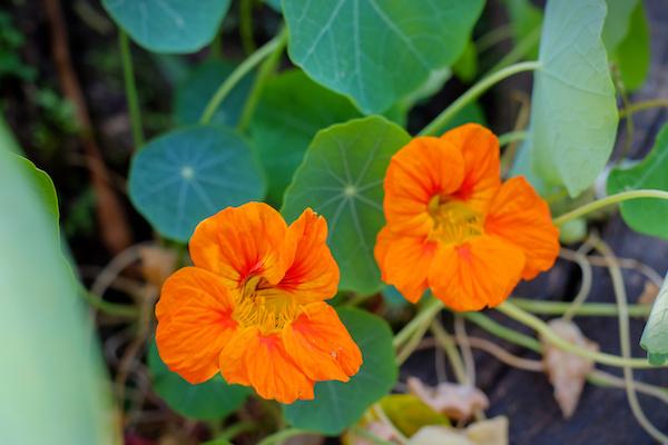 4 PANCs (plantas alimentícias) nutritivas para cultivar com as crianças